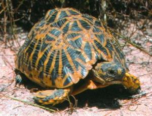 Very rare geometric tortoise